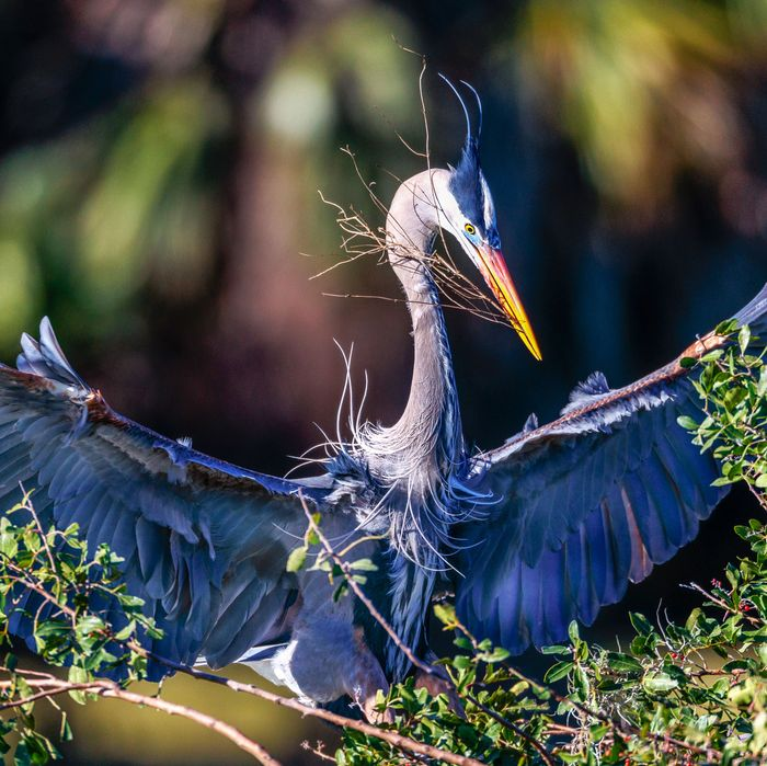 A Great Blue Heron.