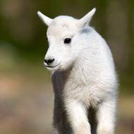 Mountain Goat (Oreamnos americanus) juvenile, Glacier National Park, Montana