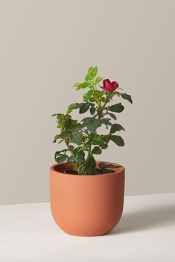 The Sill Petite Knock Out Rose