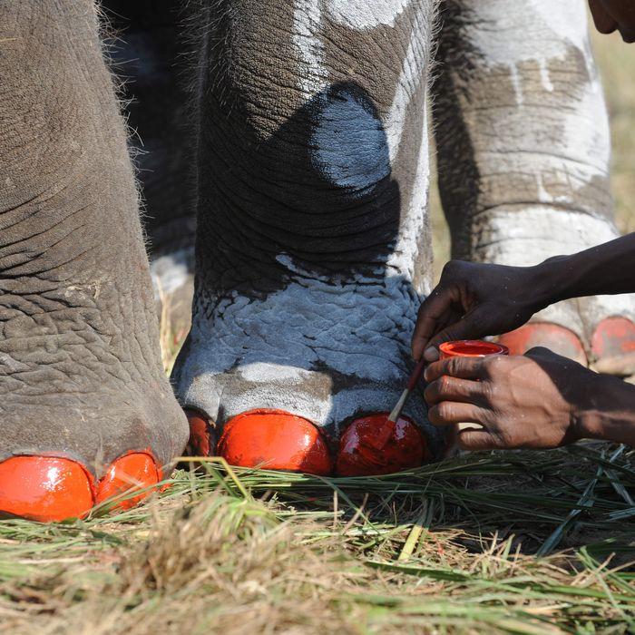 Elephants getting pedicures in Nepal.