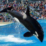 An orca whale jumps out of the water during the One Ocean show at SeaWorld San Diego.