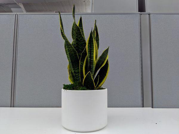 Leon and George Snake Plant, Medium