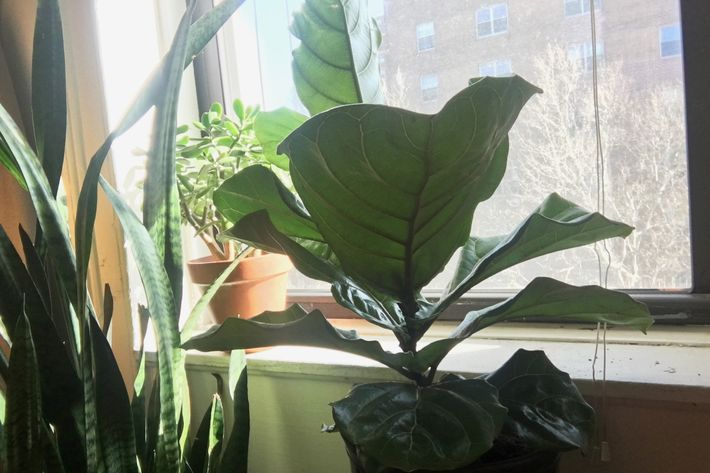 This Is An Actual Photo Of My Fiddle Leaf Fig Chilling Next To A Jade Plant And Snake