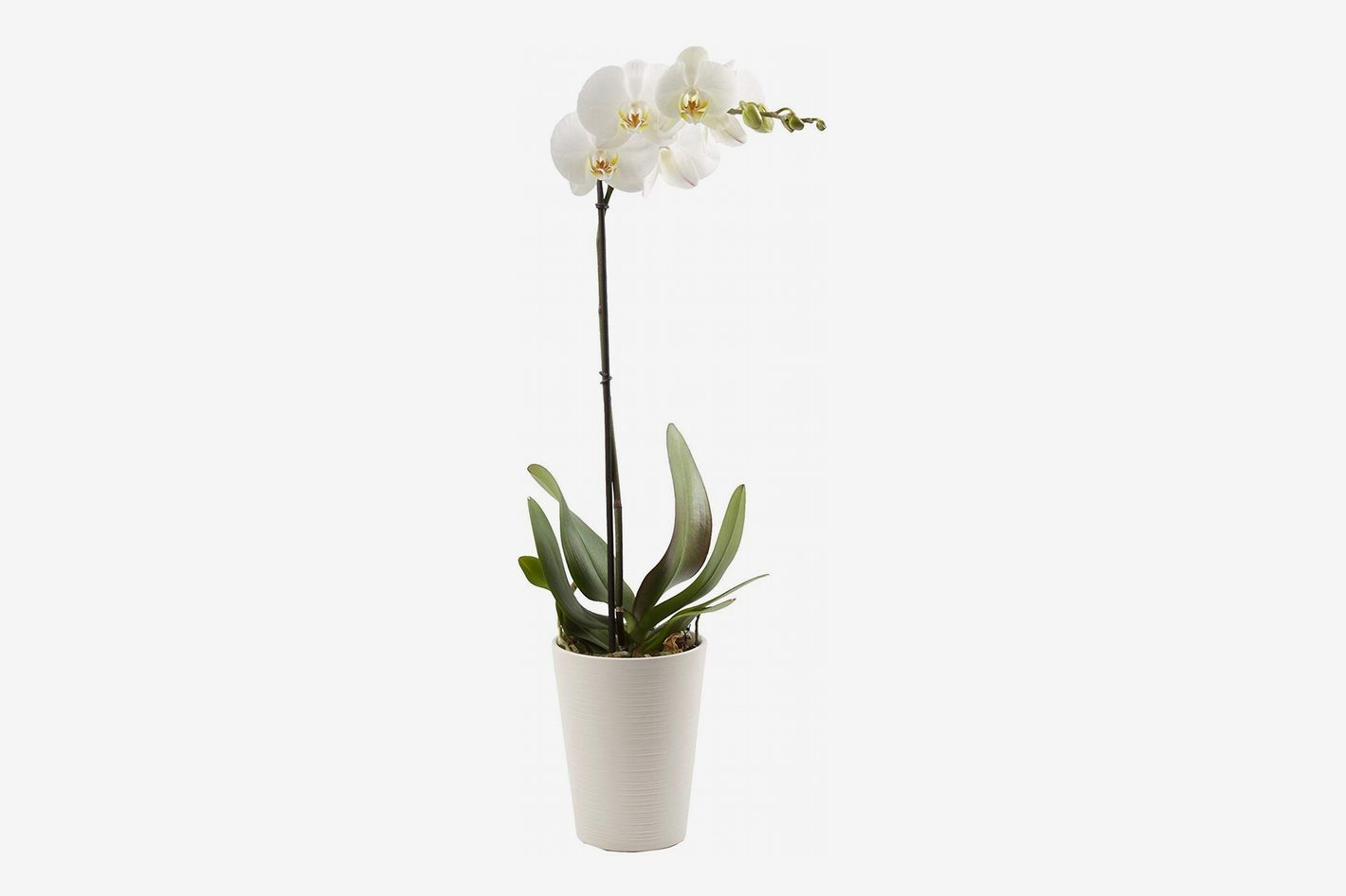 Color Orchids Live Blooming Single Stem Phalaenopsis Orchid Plant, White Blooms