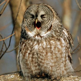 Great Grey Owl Yawning, Ontario, Canada.