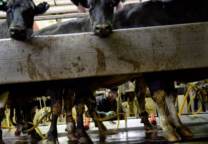 Washington Post spotlights Colorado dairy in probe of organic-milk practices
