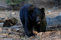 A black bear scavenges for food beside t