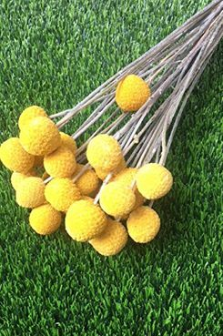 BD Crafts Craspedia Billy Balls, Dried Bundle of 24 Stems