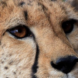 A cheetah is pictured on March 22, 2013 at the private game reserve of French Damien Vergnaud in Inverdoom, 200 kms north east of Cape Town. Vergnaud runs a breeding program for cheetahs. At the beginning of the 20th century, an estimated 100.000 cheetahs were roaming freely in Africa and Asia to decrease to about 10.000 in the wild today.