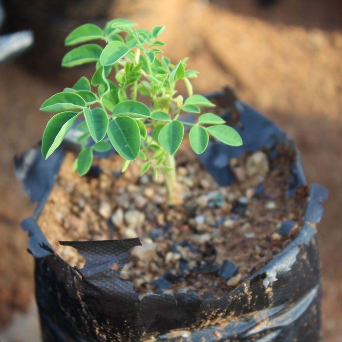 A moringa tree seedling in Botswana.