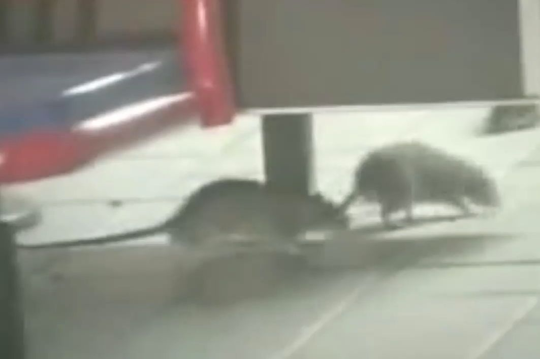 Watch This Supercut of Amateur Videos of NYC Rats