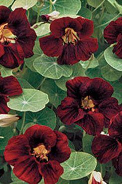 Seed Savers Black Velvet Nasturtium Seeds