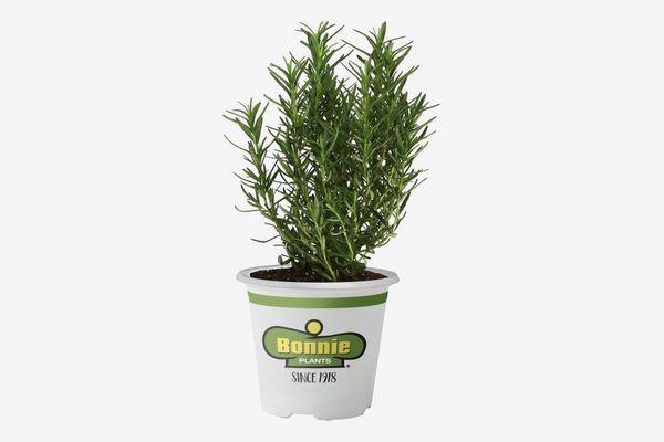 Bonnie Plants Rosemary