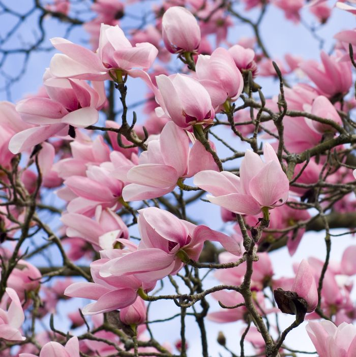 Magnolia Flowers Become Leaves Too Fast