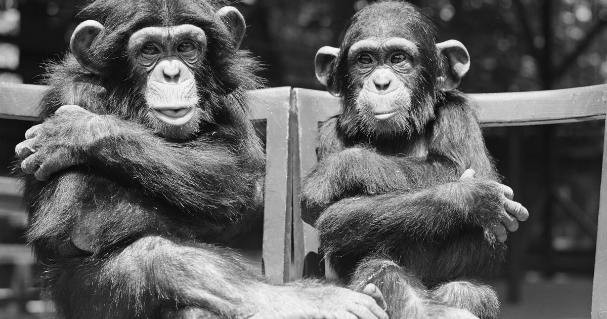 Having a Best Friend Makes Chimpanzees Less Stressed About Life