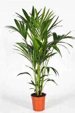 Large Kentia Palm