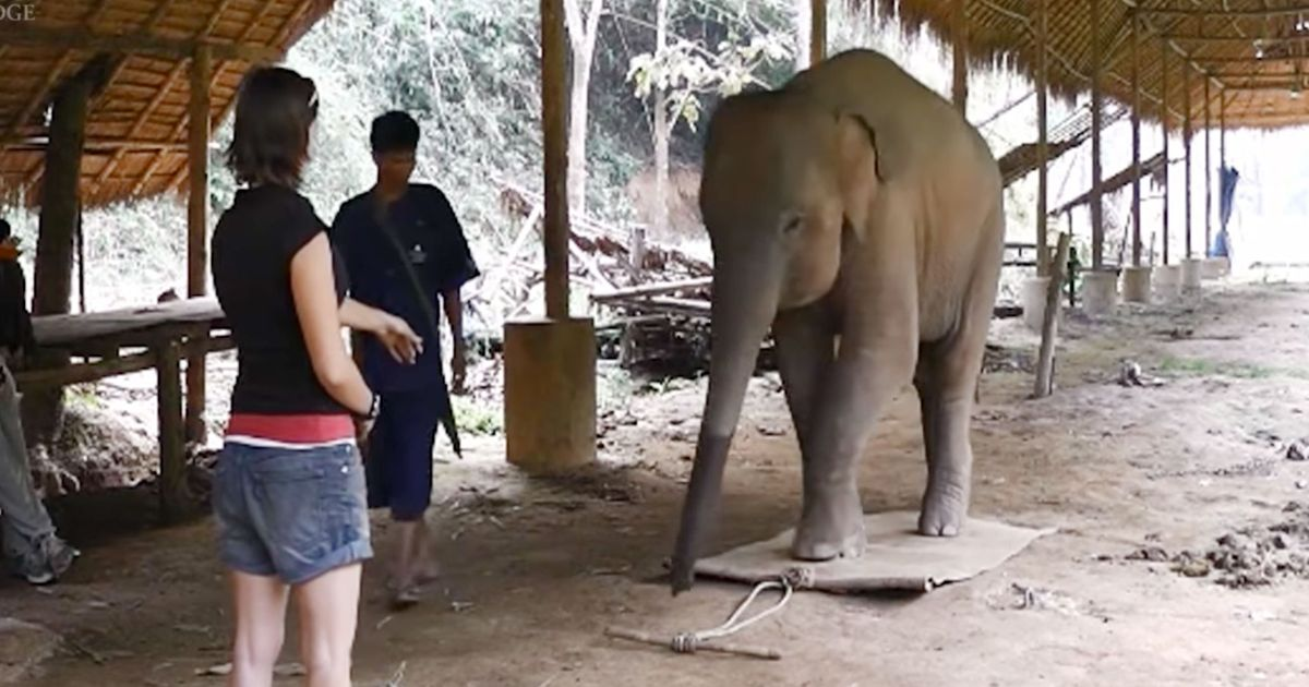 This Cool Elephant Has a Point to Prove About Elephant Cognition