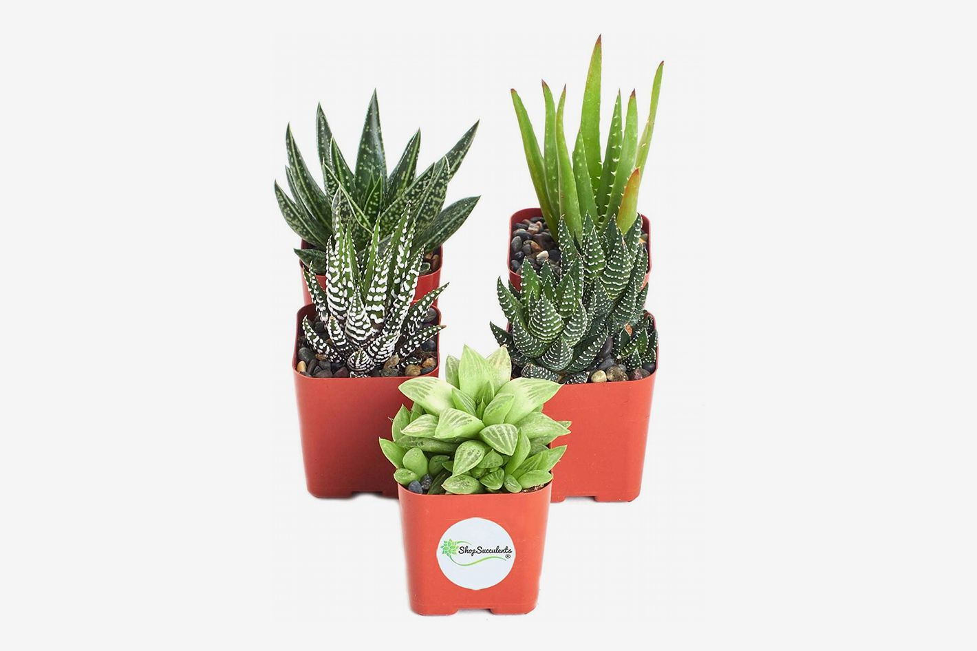 Shop Succulents Aloe Plants