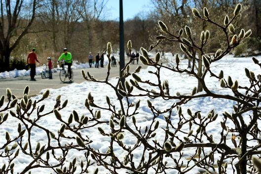 A touch of spring was felt at the Arnold Arboretum as many came out to take advantage of a warm day. Buds on a magnolia tree rise in contrast to the deep coating of snow still covering the ground. (Photo by John Tlumacki/The Boston Globe via Getty Images)