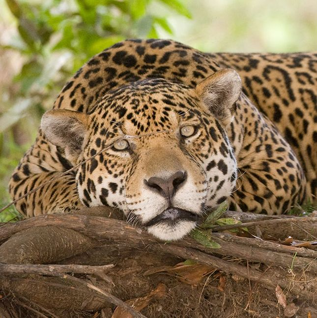 A lazy jaguar or is it us?