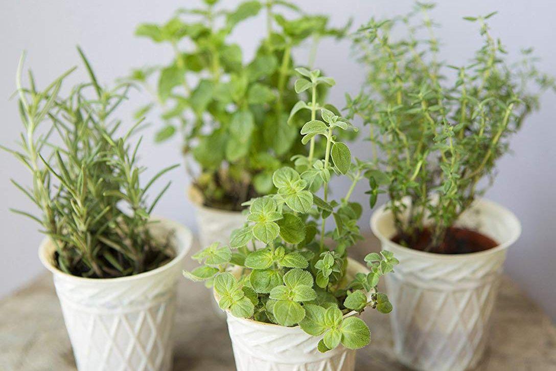 KaBloom Live Plant Collection: Herb Garden Set of 4 Plants