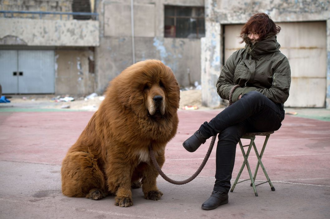 A Tibetan mastiff dog is displayed for sale at a mastiff show in Baoding, Hebei province, south of Beijing on March 9, 2013. Fetching prices up to around 750,000 USD, mastiffs have become a prized status-symbol amongst China's wealthy, with rich buyers across the country sending prices skyrocketing. Owners say the mastiffs, descendents of dogs used for hunting by nomadic tribes in central Asia and Tibet are fiercely loyal and protective. Breeders still travel to the Himalayan plateau to collect young puppies, although many are unable to adjust to the low altitudes and die during the journey.