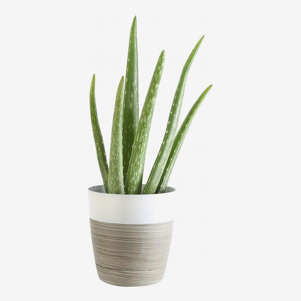 costa farms aloe vera live indoor house plant, 10-inch, white-natural planter - strategist best live indoor aloe plant