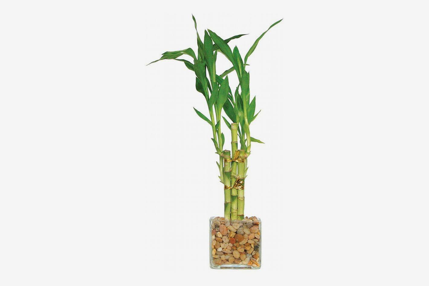 Lucky Bamboo (<em>Dracaena sanderiana</em>)