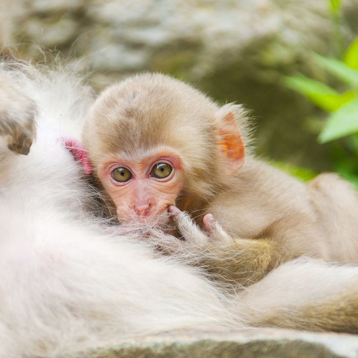 This is not actually Charlotte, the monkey, but a similar species.