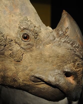 TO GO WITH AFP STORY BY Laurent ThometA picture taken on July 28, 2011 shows a stuffed rhinoceros at the Brussels Royal Institute for Natural Sciences Museum. It was a daring daytime robbery at the natural science museum. The two thieves snuck into the rhino gallery and ripped a stuffed head off the wall. They carried it to a restroom, opened a window, and dropped the 30-kilo trophy two-stories down to an accomplice waiting in a van. The museum had never been robbed until the July heist, when it became the latest of a rising number of science museums in Europe targetted by thieves for rhino horns, which can fetch tens of thousands of euros on the black market. AFP PHOTO / GEORGES GOBET (Photo credit should read GEORGES GOBET/AFP/Getty Images)