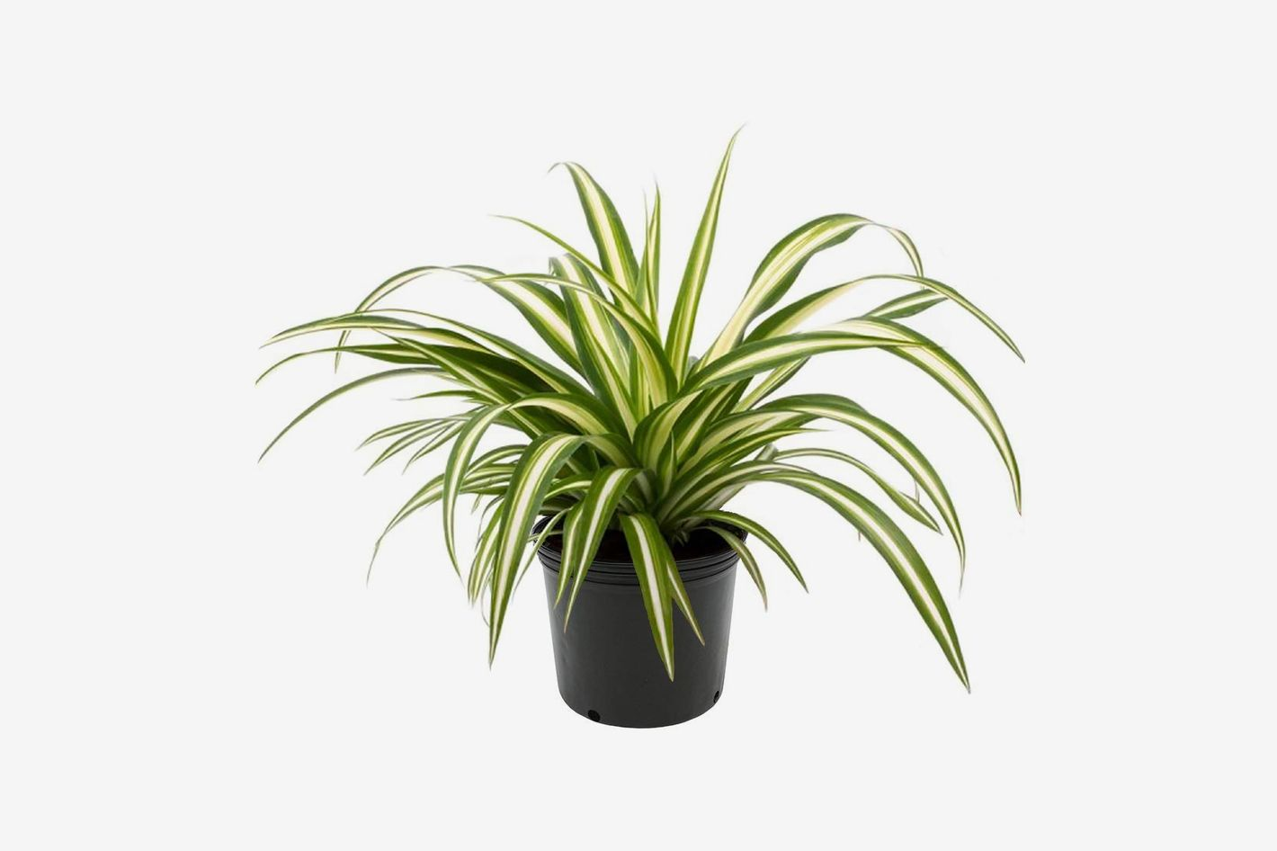 AMERICAN PLANT EXCHANGE Spider Plant in Grower's Pot