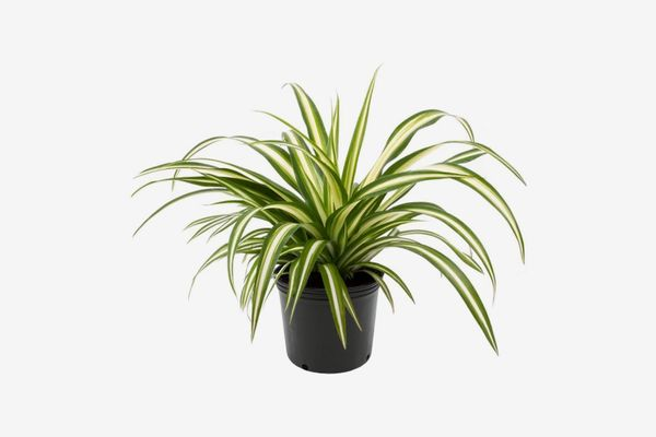 American Plant Exchange Ocean Spider Plant in Grower's Pot