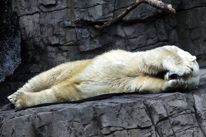 Gus the polar bear covers his face as he takes a nap at the Central Park Zoo.