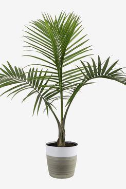 Costa Farms Majesty Palm Tree