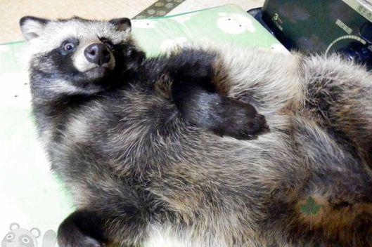 Raccoon Dog Big Balls