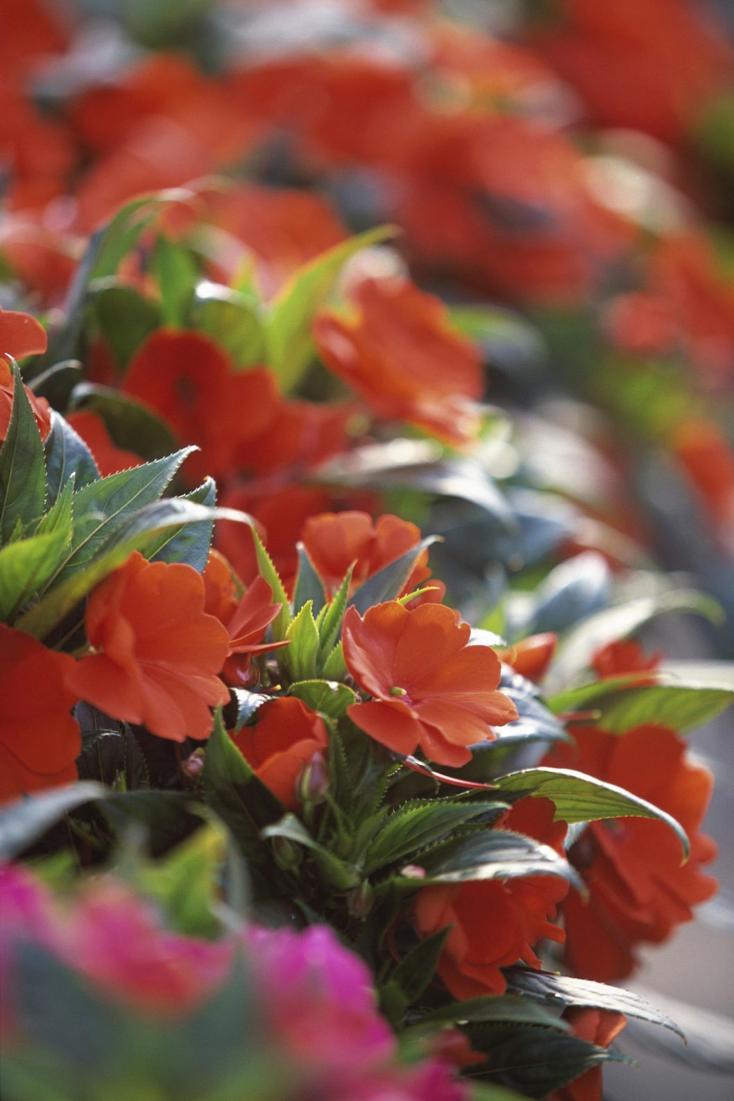 Close-up of impatiens flowers