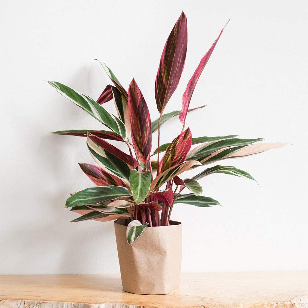 AMERICAN PLANT EXCHANGE Tricolor Stromanthe in Grower's Pot