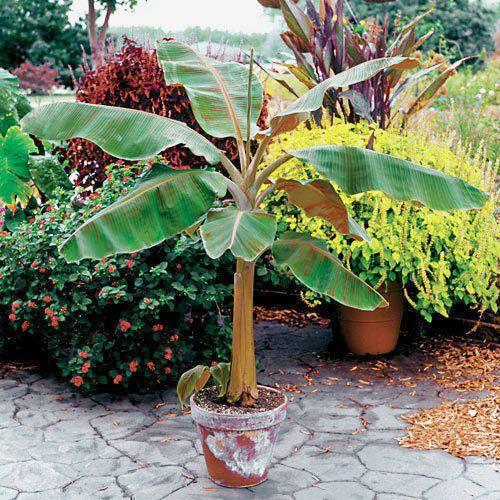 Dwarf Cavendish Banana Tree
