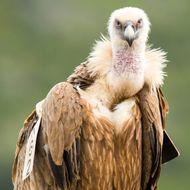 Griffon Vulture (Gyps fulvus), portrait, Israel