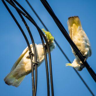 Cockatoos Chew Through Australian Broadband Wires