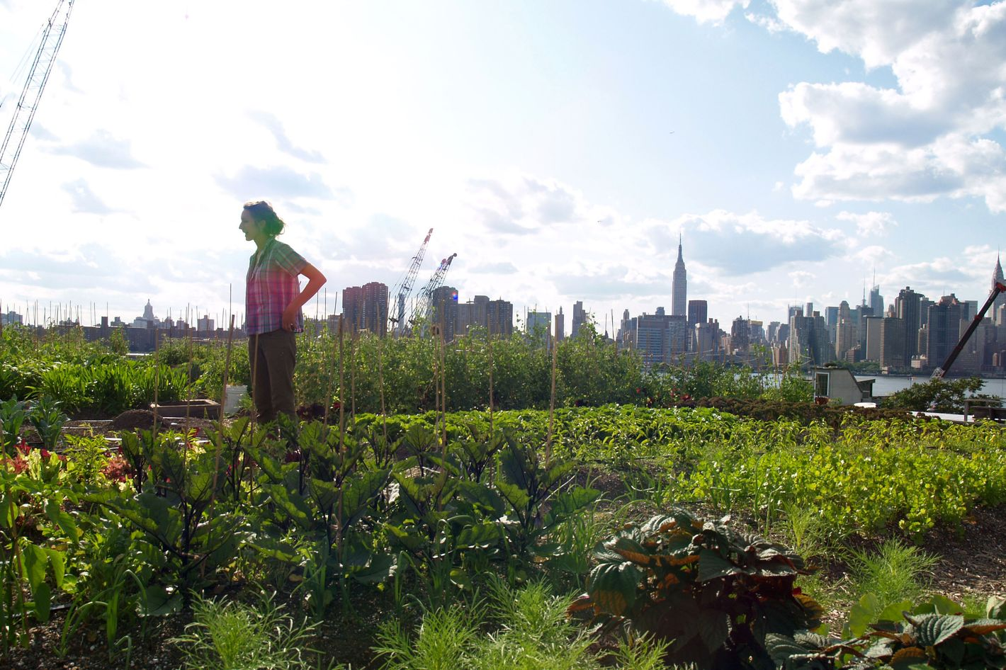 Urban farmer Annie Novak surveys the farm in Brooklyn, New York, U.S., on July 14, 2009.  Rooftop Farms has 6000 square feet of space to raise produce.Photographer: Mike Di Paola/Bloomberg