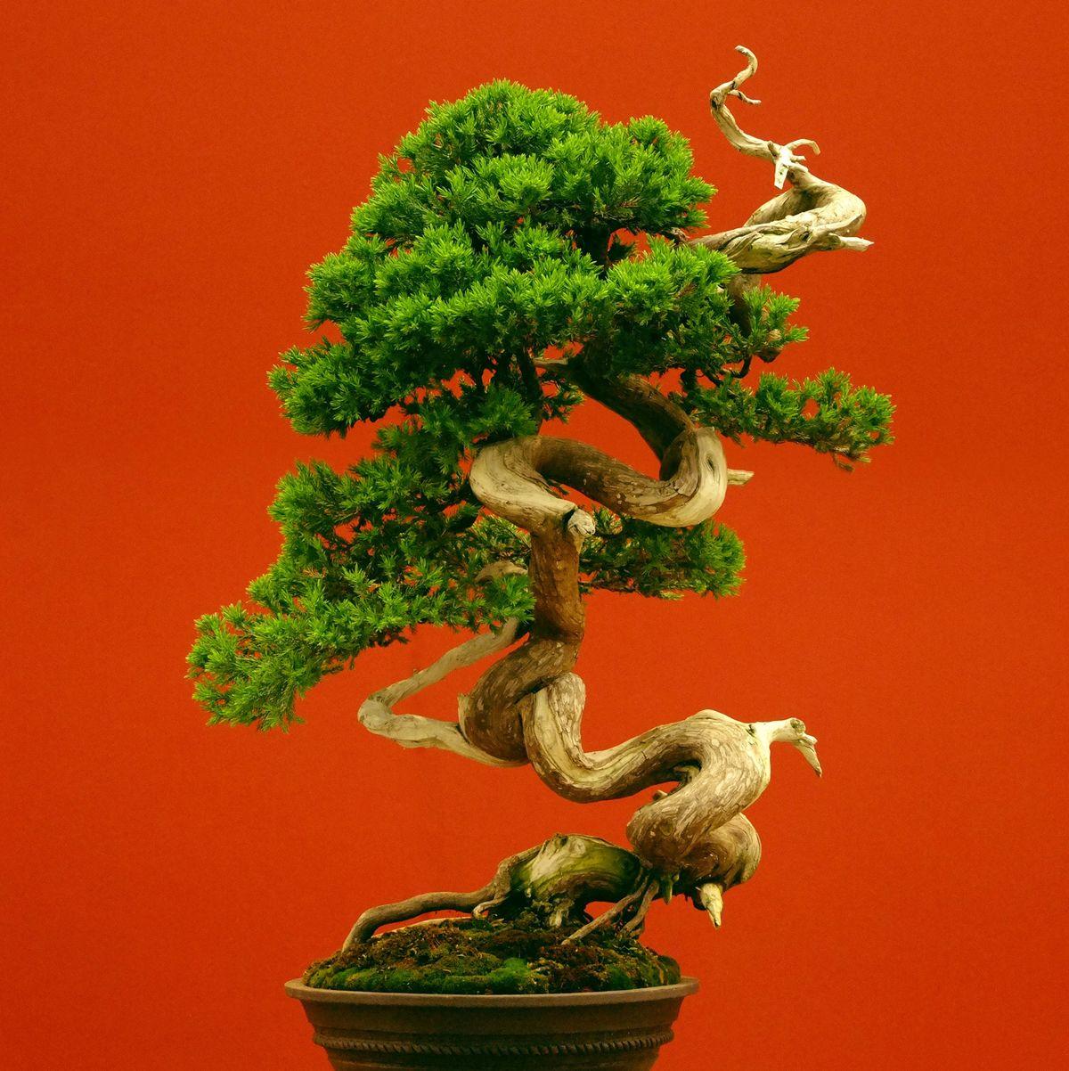 Japanese Couple Begs Thief To Return Their Bonsai Trees