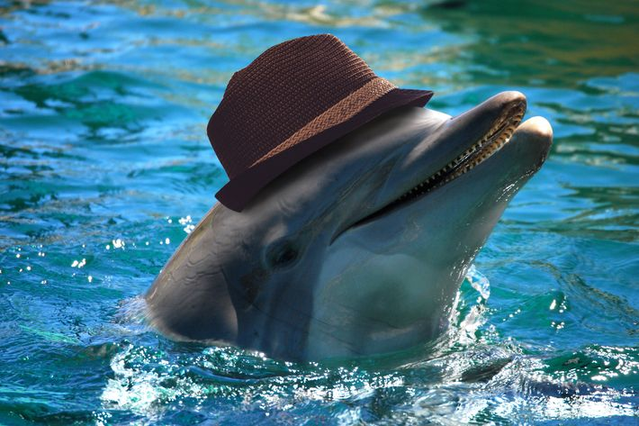 like the fedora wearing tinder date of your nightmares these dolphins wear hats to attract a mate - Pics Of Dolphins