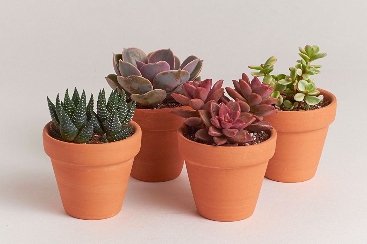 "Shop Succulents 2.5"" Terracotta Cactus Four Pack"