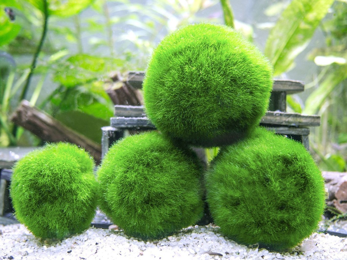 Aquatic Arts Marimo Moss Ball Variety Pack, Assorted Sizes, 6 Count