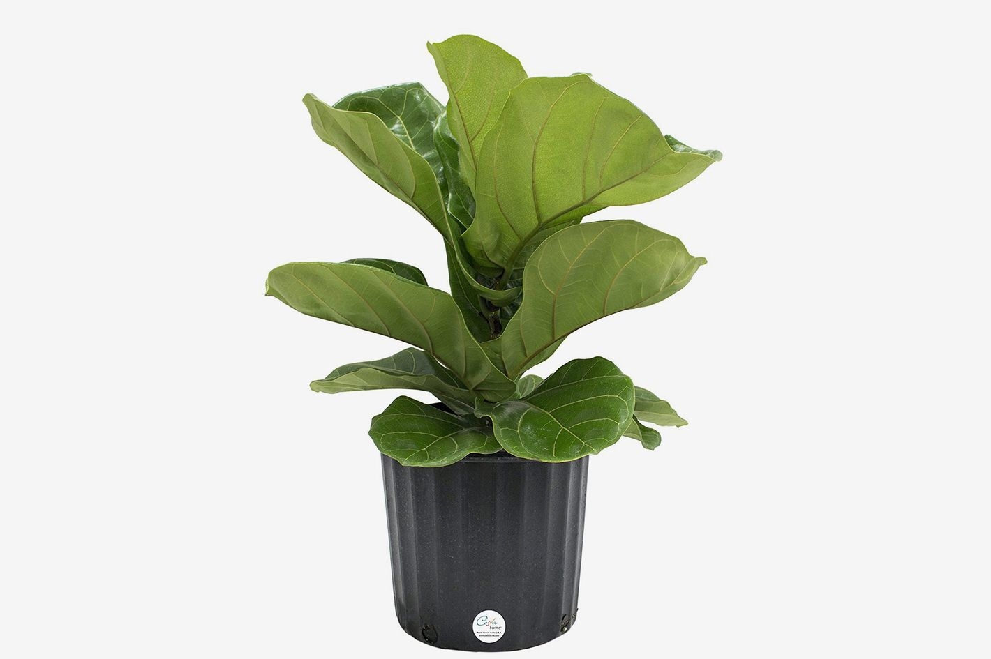 Costa Farms Ficus Pandurata Fiddle-leaf Fig Live Indoor Floor Plant
