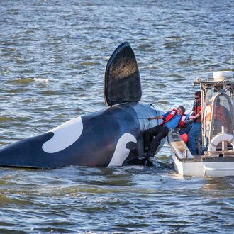Pilot of the fake fiberglass orca