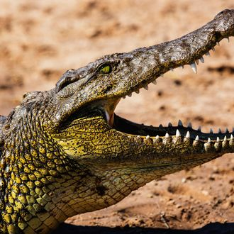 A sideview portrait of the head of a Nile crocodile