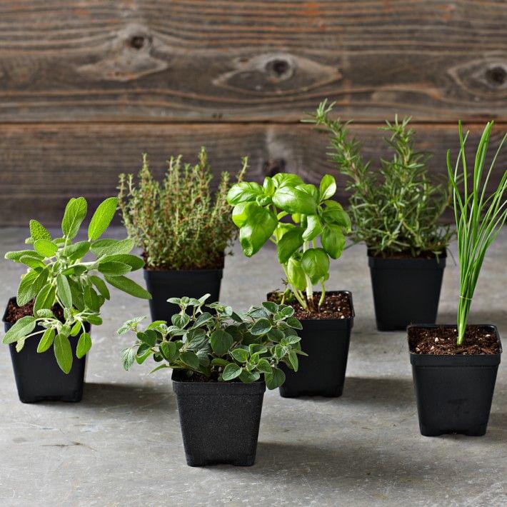 Essential Kitchen Garden Herbs 6-Pack
