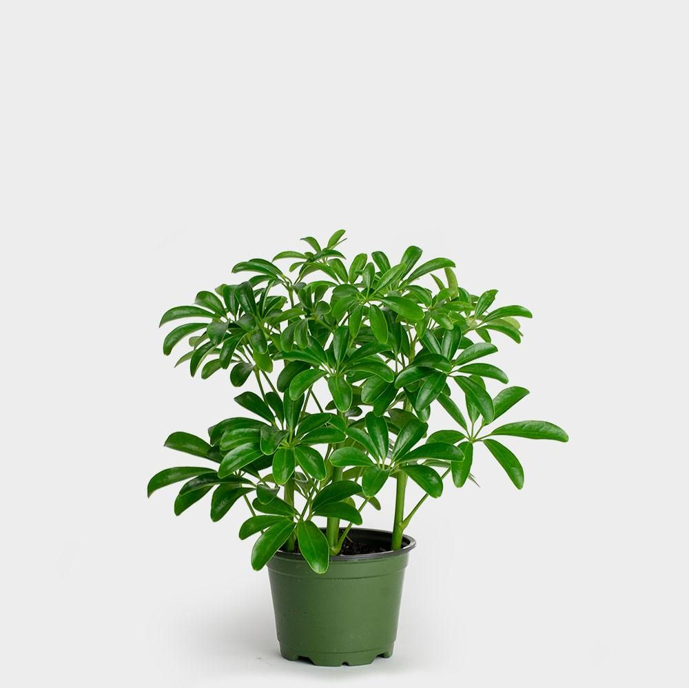 17 Most Underexposed and Underrated Plants 2019 Umbrella House Plant Html on umbrella plant care, pond umbrella plant, florida umbrella plant, schefflera plant, money tree plant, umbrella bush plant, umbrella tree, umbrella plant botanical name, the umbrella plant, umbrella plant types, umbrella plant disease, dwarf umbrella plant, umbrella plant dracaena, variegated umbrella plant, umbrella palm plant, umbrella plant pruning, umbrella flower, umbrella looking plant, umbrella plant leaves, cat tail plant,